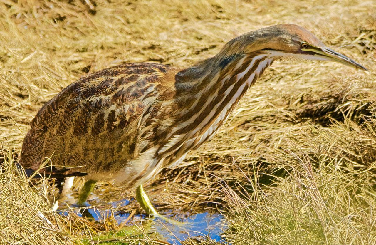 American Bittern Photo by Brian Avent