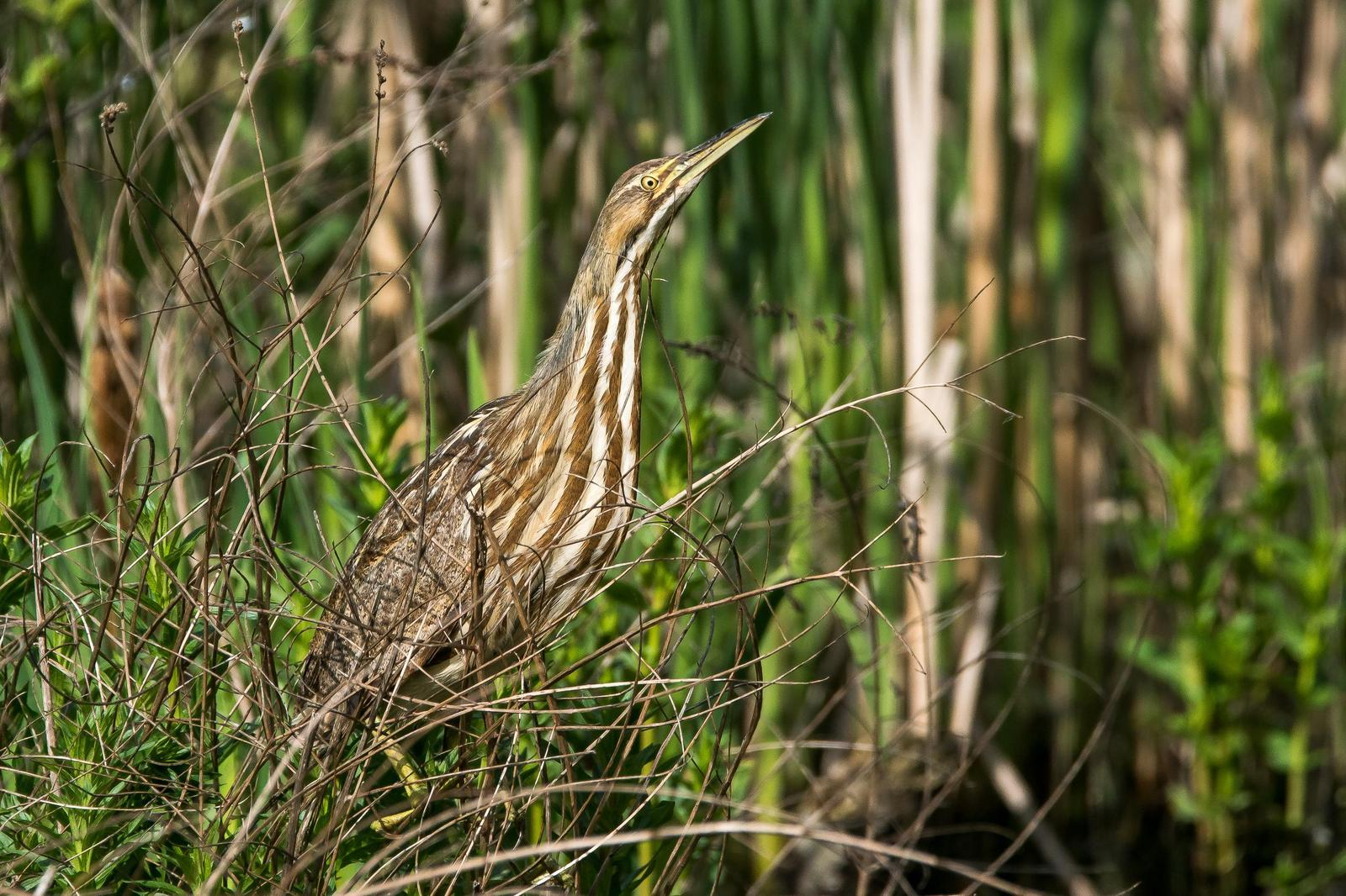 American Bittern Photo by Gerald Hoekstra