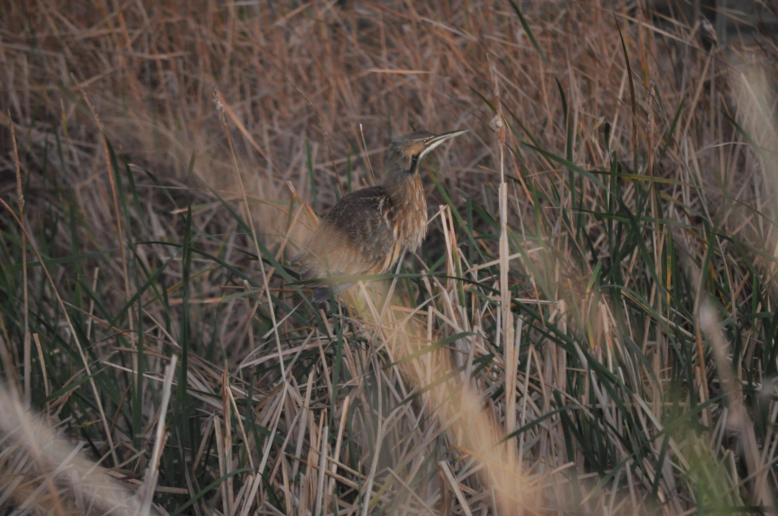 American Bittern Photo by Terry Campbell
