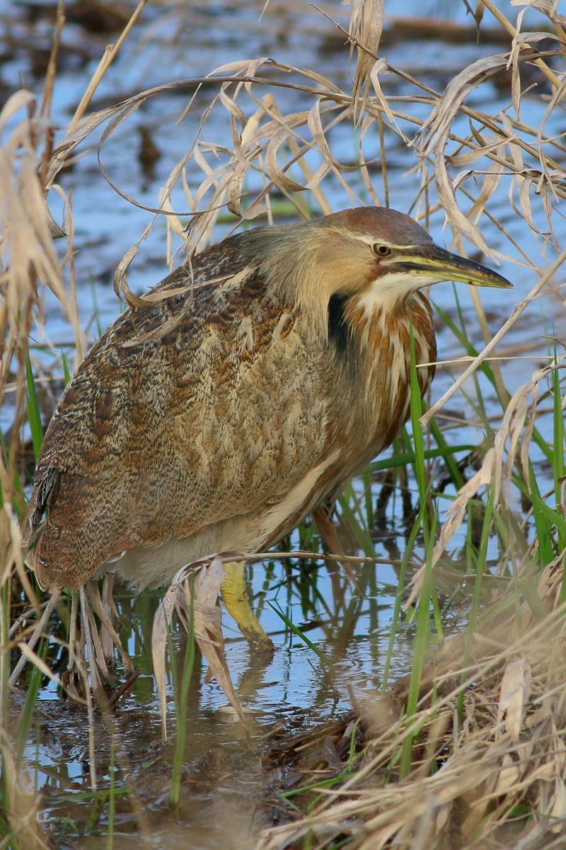 American Bittern Photo by Skip Russell