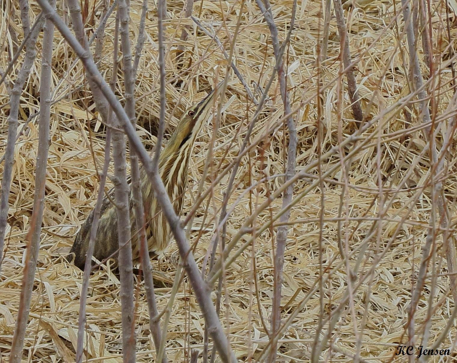 American Bittern Photo by Kent Jensen