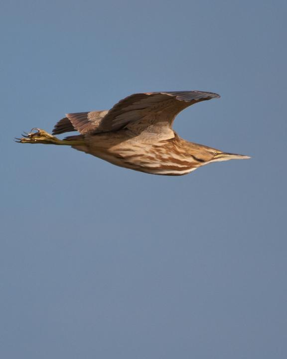 American Bittern Photo by Mat Gilfedder