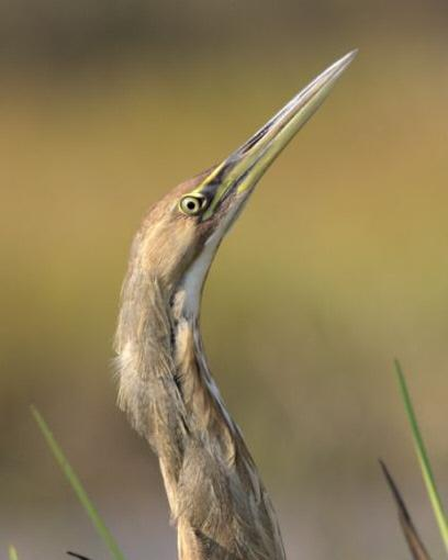 American Bittern Photo by Paul Shay