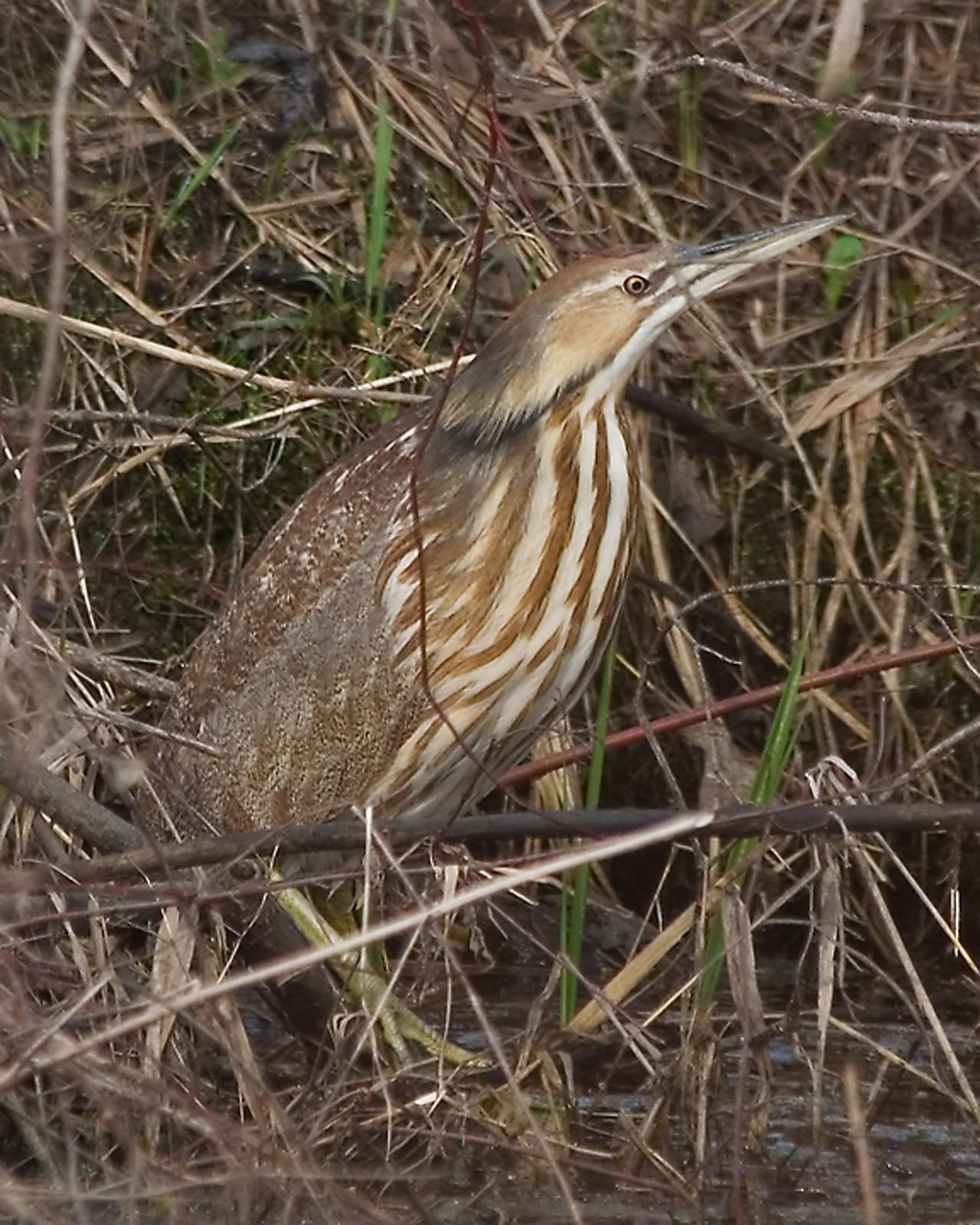 American Bittern Photo by Mark Blassage