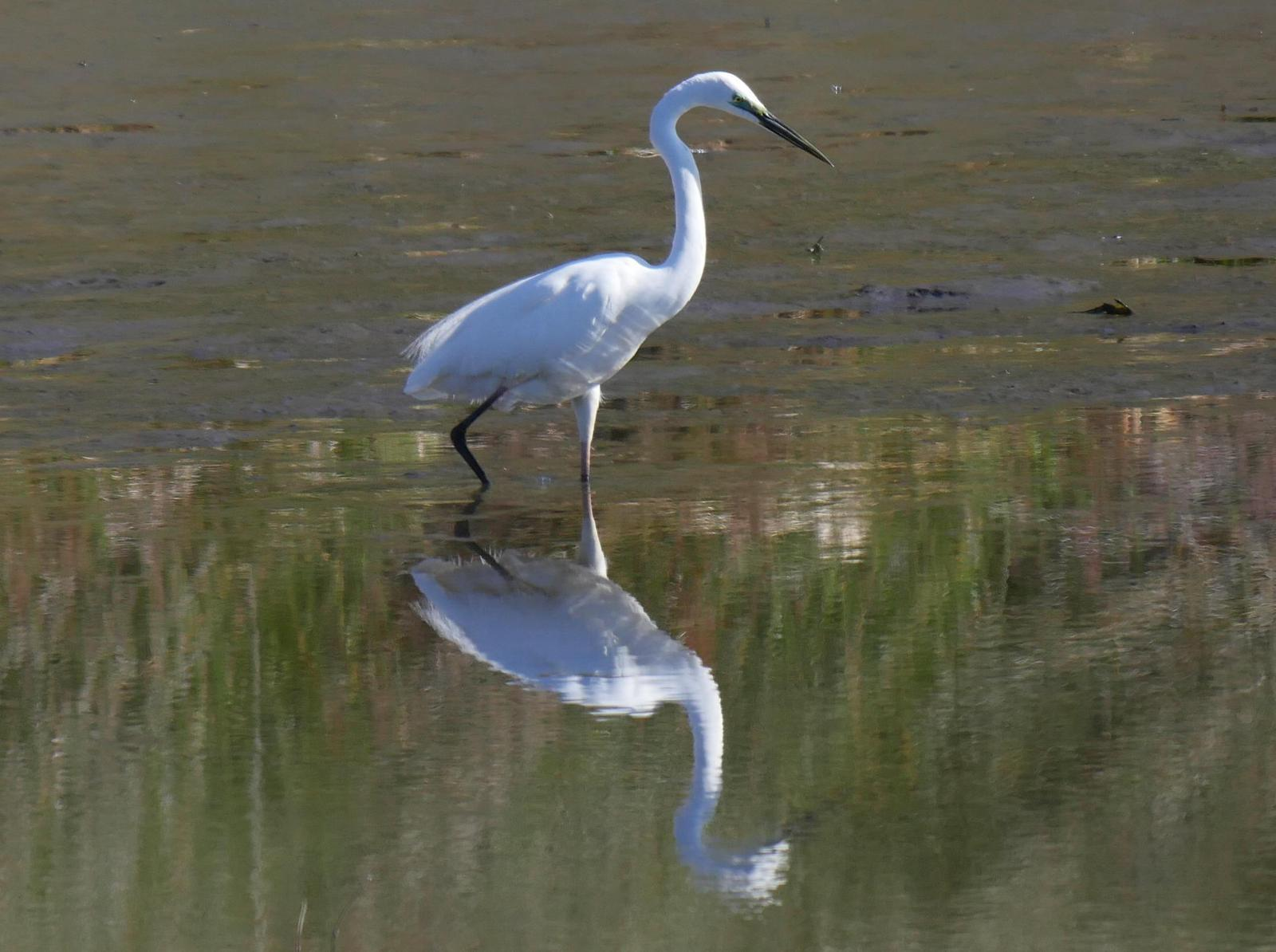 Great Egret (Australasian) Photo by Peter Lowe