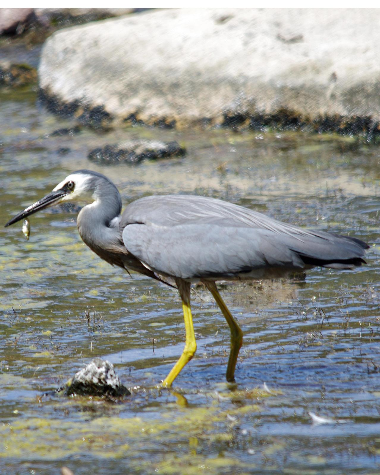 White-faced Heron Photo by Richard Lund
