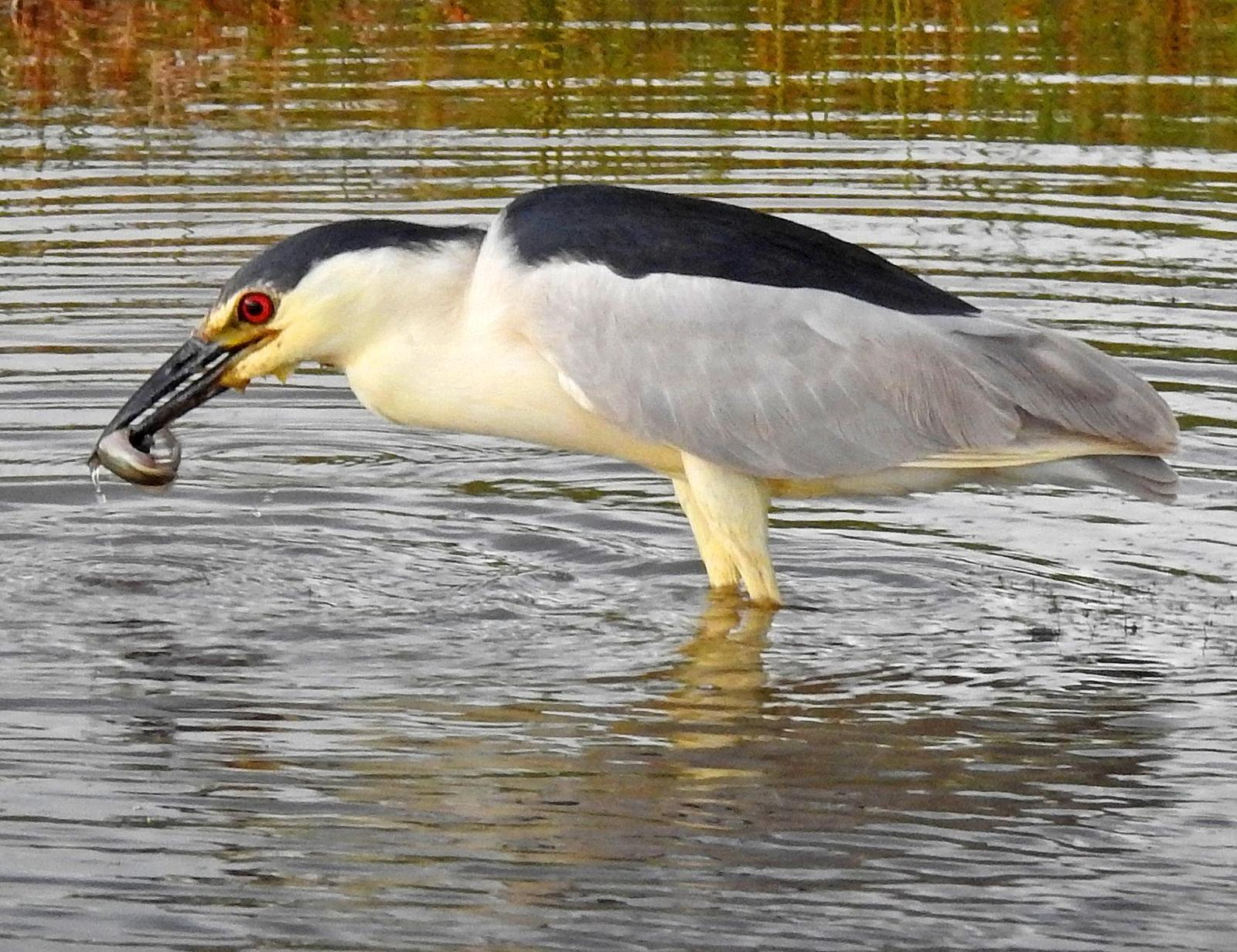 Black-crowned Night-Heron Photo by Tom Gannon