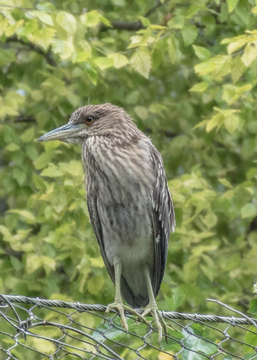 Black-crowned Night-Heron Photo by Keshava Mysore