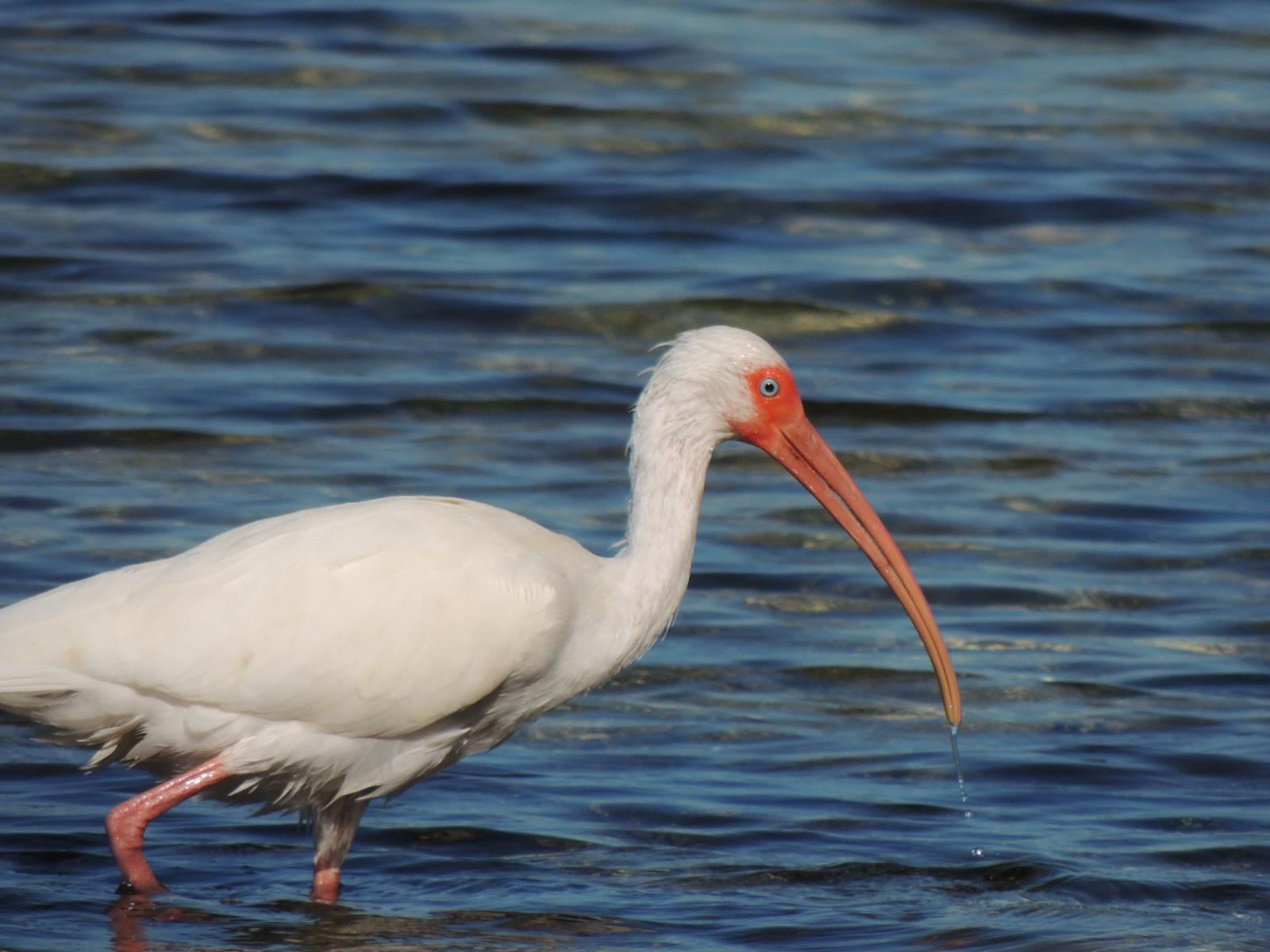 White Ibis Photo by Tony Heindel