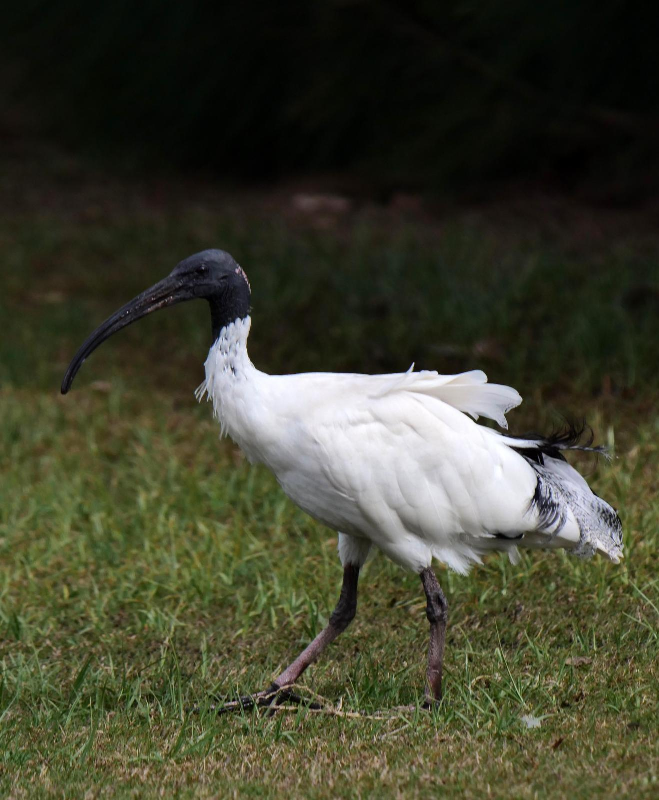 Australian Ibis Photo by Peter Lowe