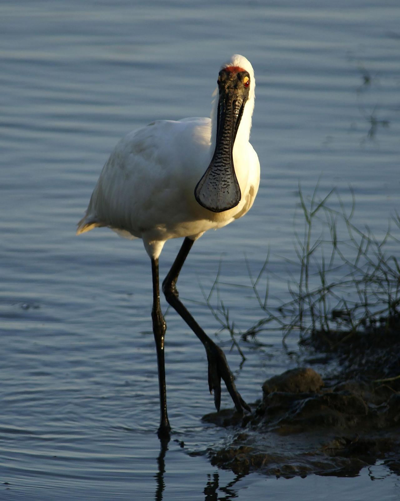 Royal Spoonbill Photo by Steve Percival
