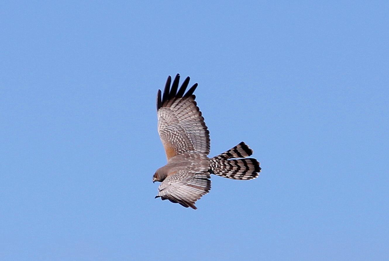 Spotted Harrier Photo by Rohan van Twest