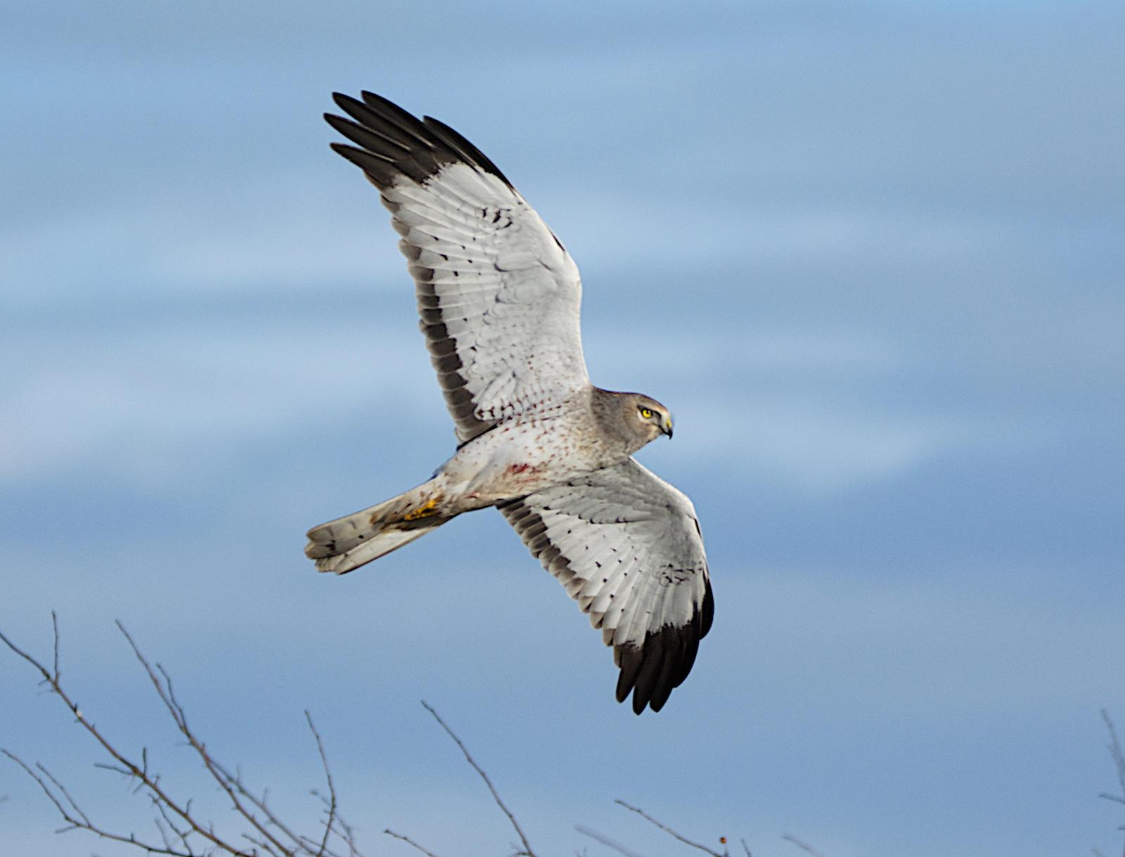 Northern Harrier Photo by Brian Avent