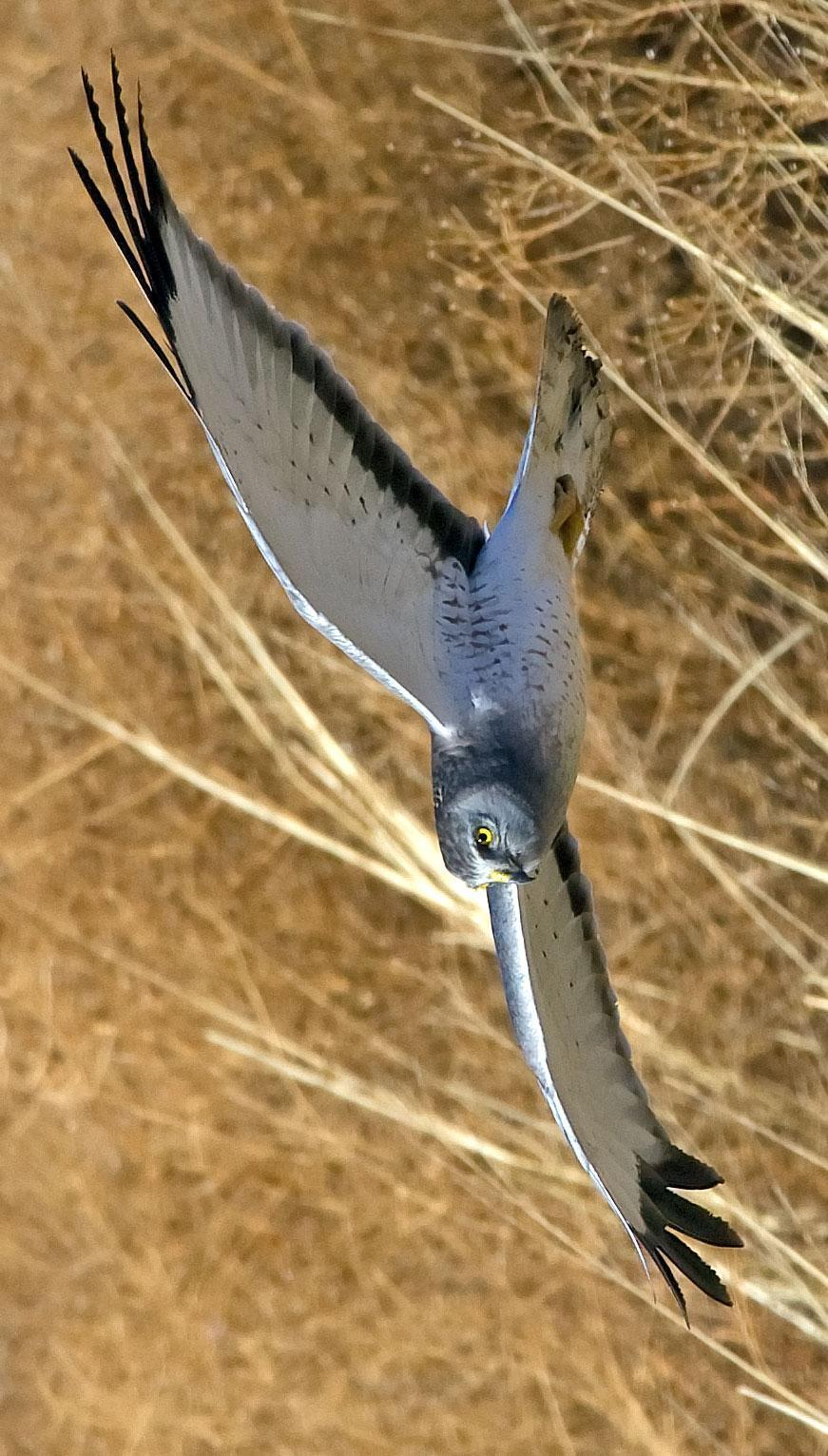 Northern Harrier Photo by Scott Berglund