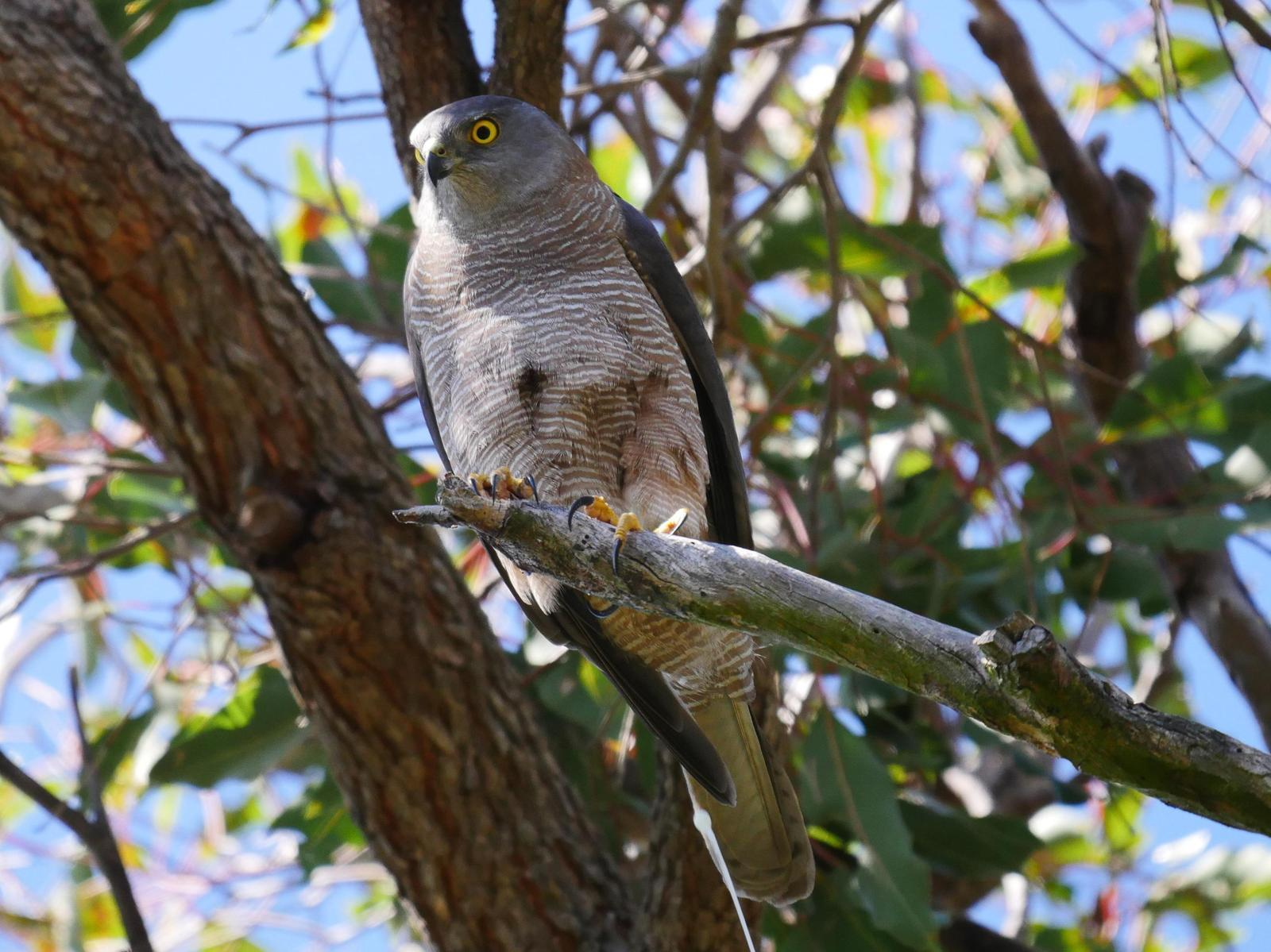 Brown Goshawk Photo by Peter Lowe