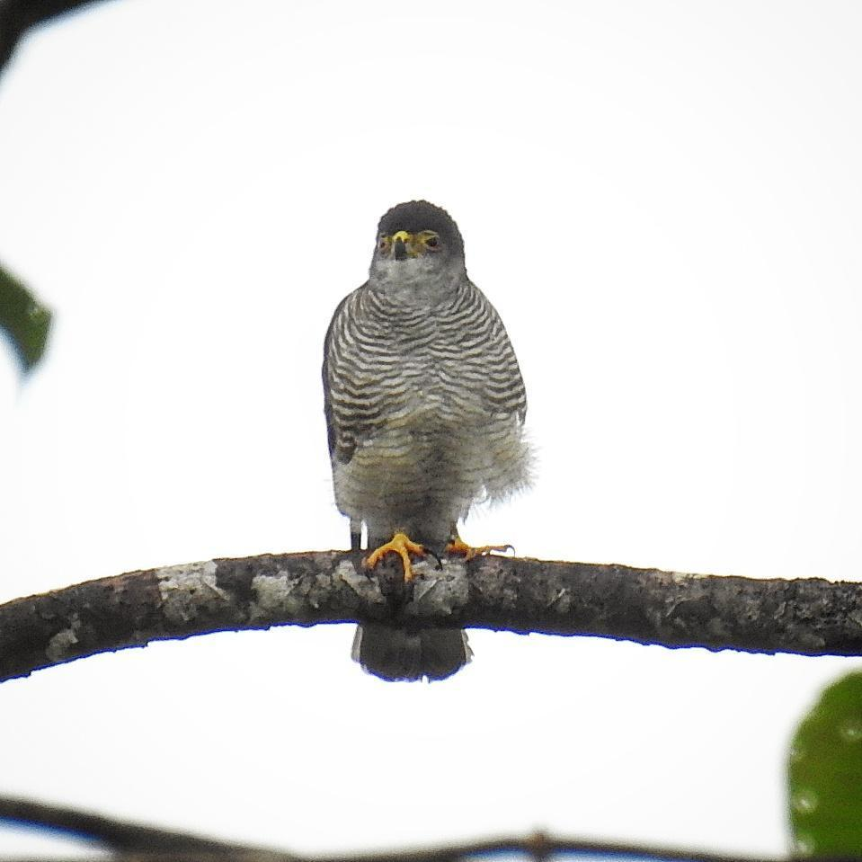 Tiny Hawk Photo by Julio Delgado