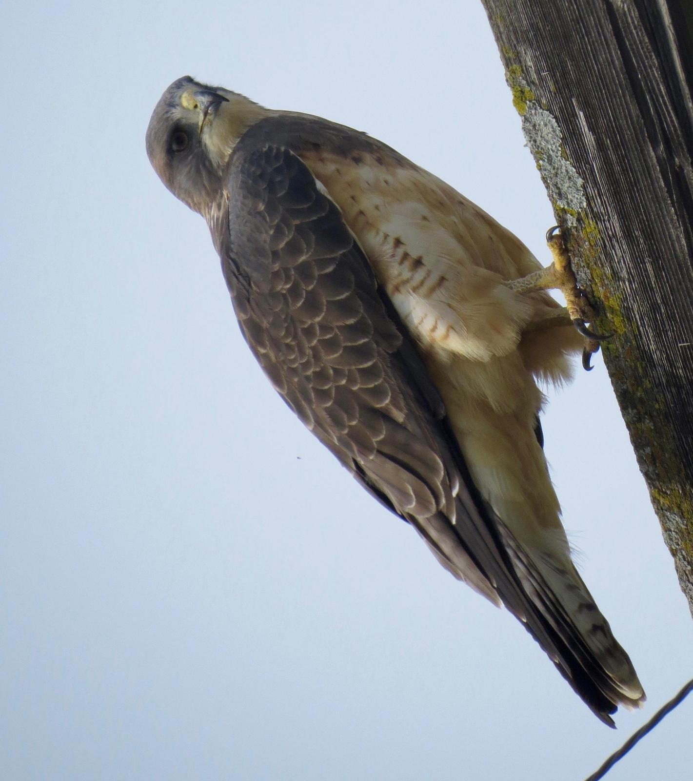 Swainson's Hawk Photo by Don Glasco