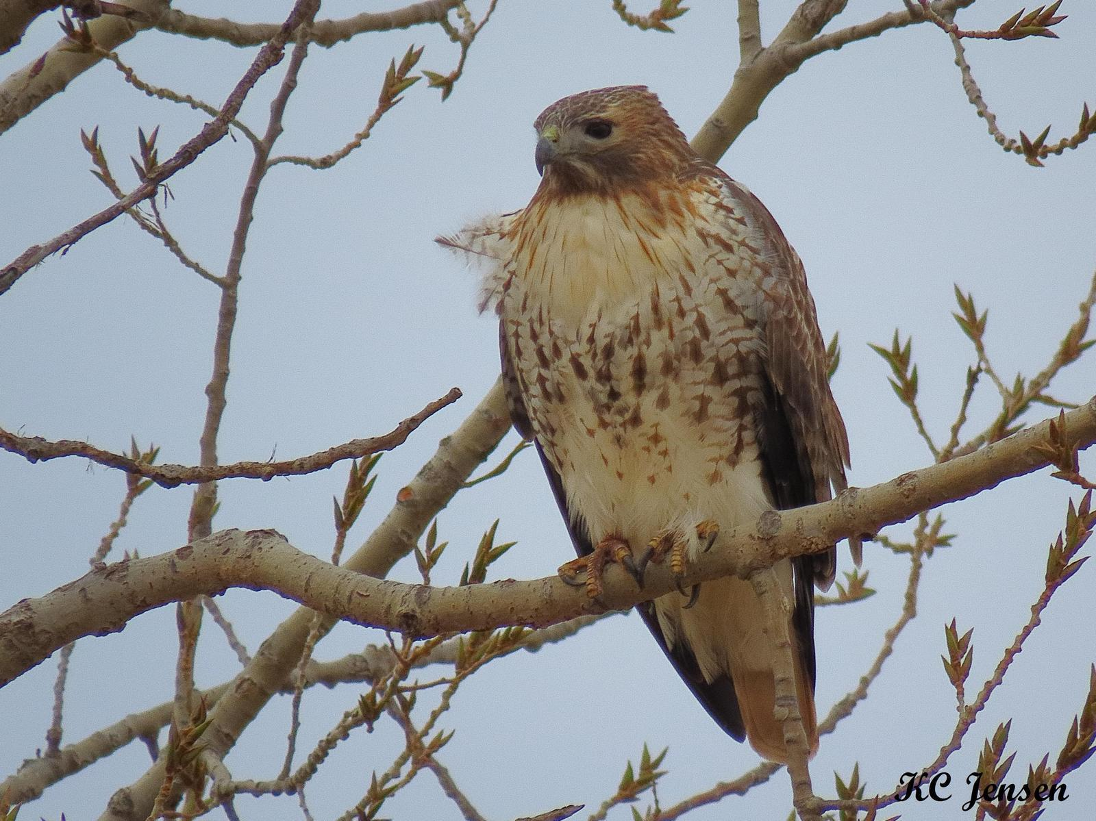 Red-tailed Hawk Photo by Kent Jensen