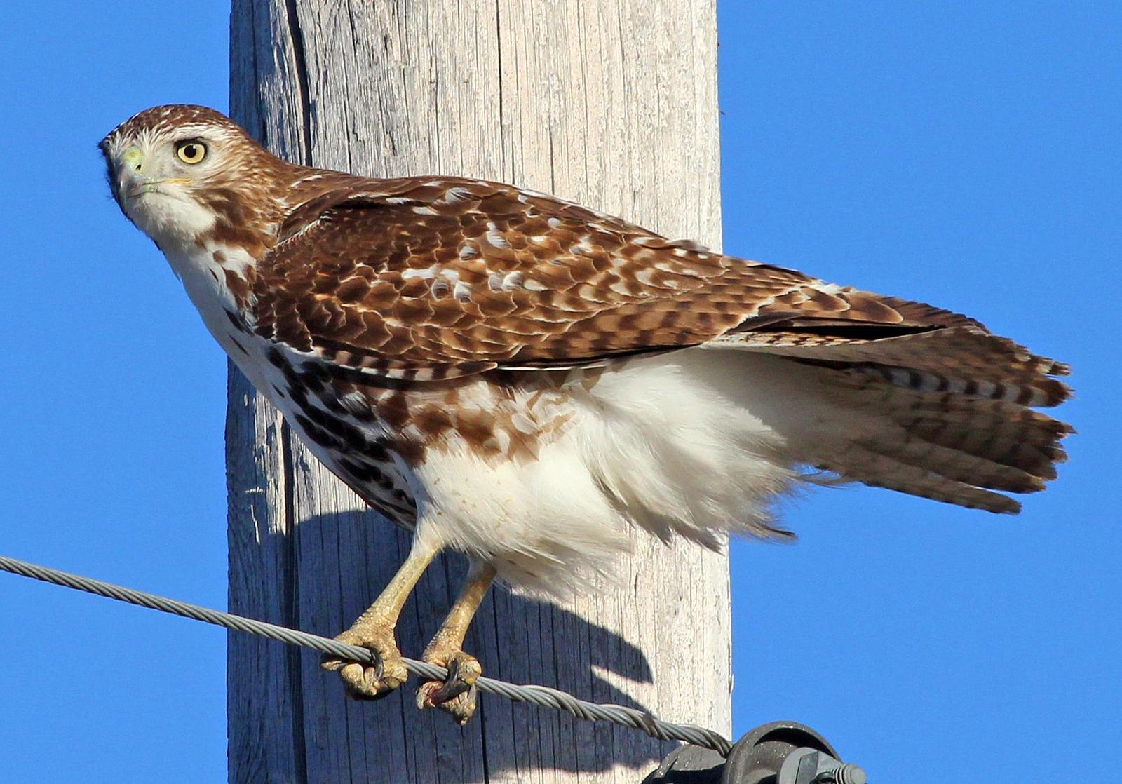 Red-tailed Hawk Photo by Tom Gannon