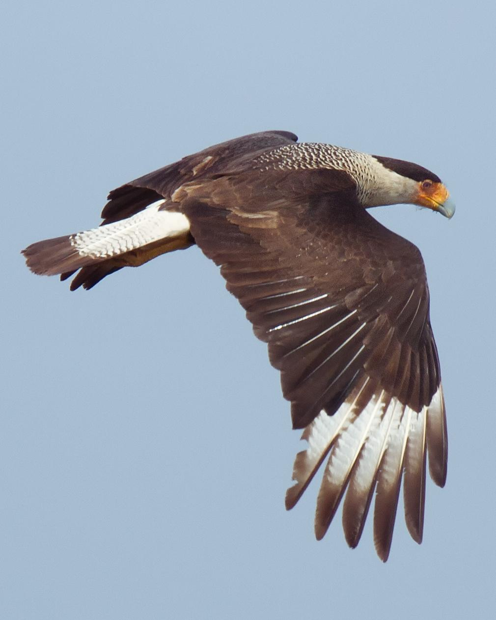 Crested Caracara Photo by JC Knoll