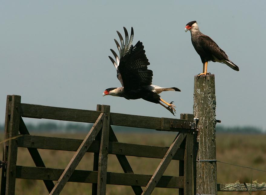 Crested Caracara Photo by dominic hall