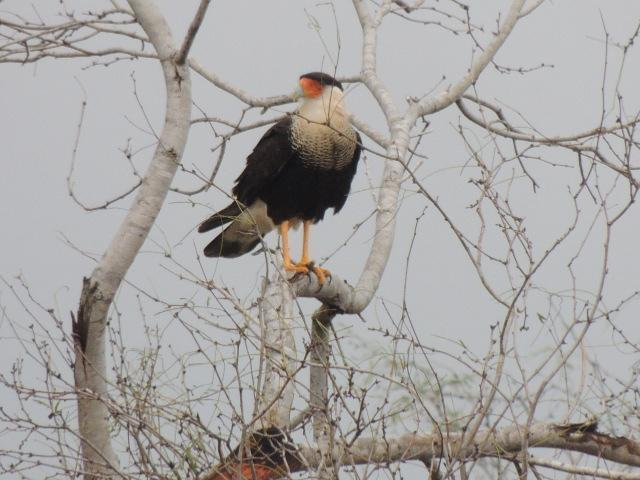 Crested Caracara Photo by Tony Heindel