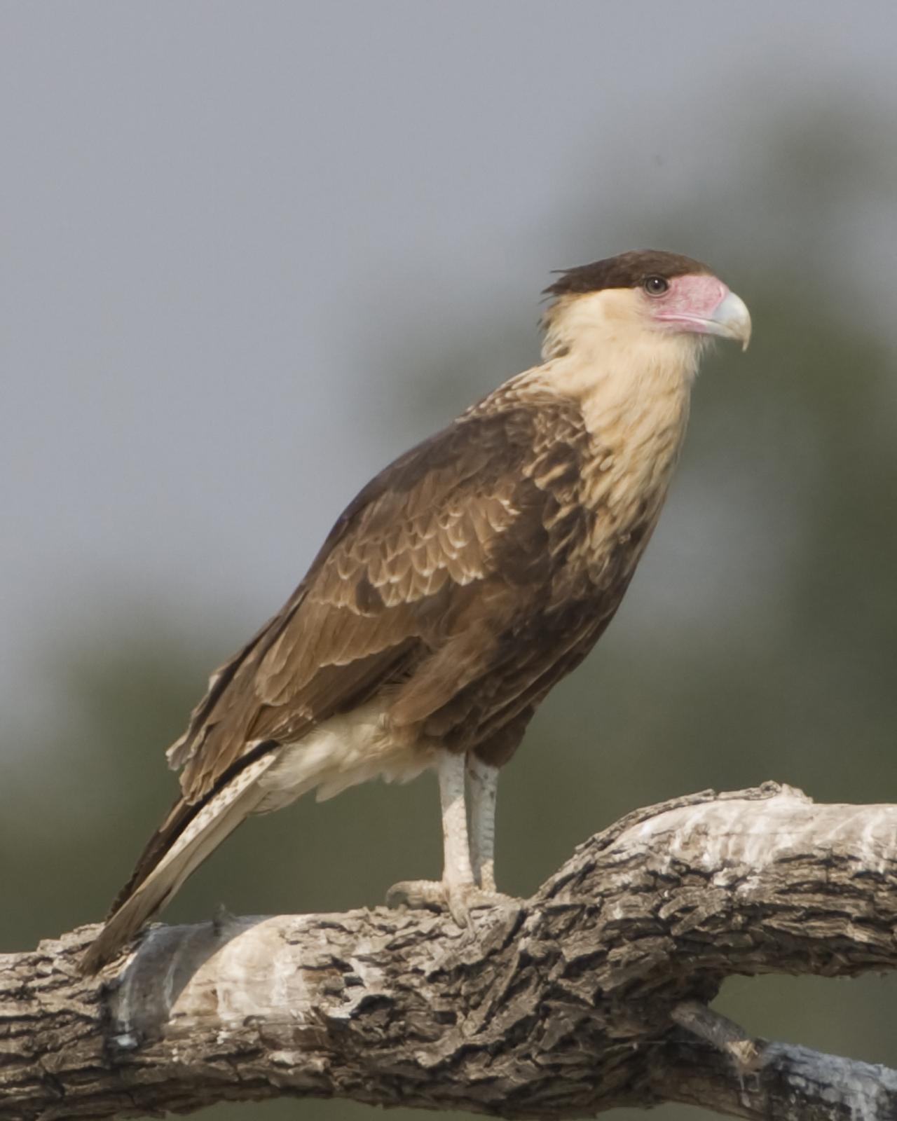 Crested Caracara Photo by Bill Adams