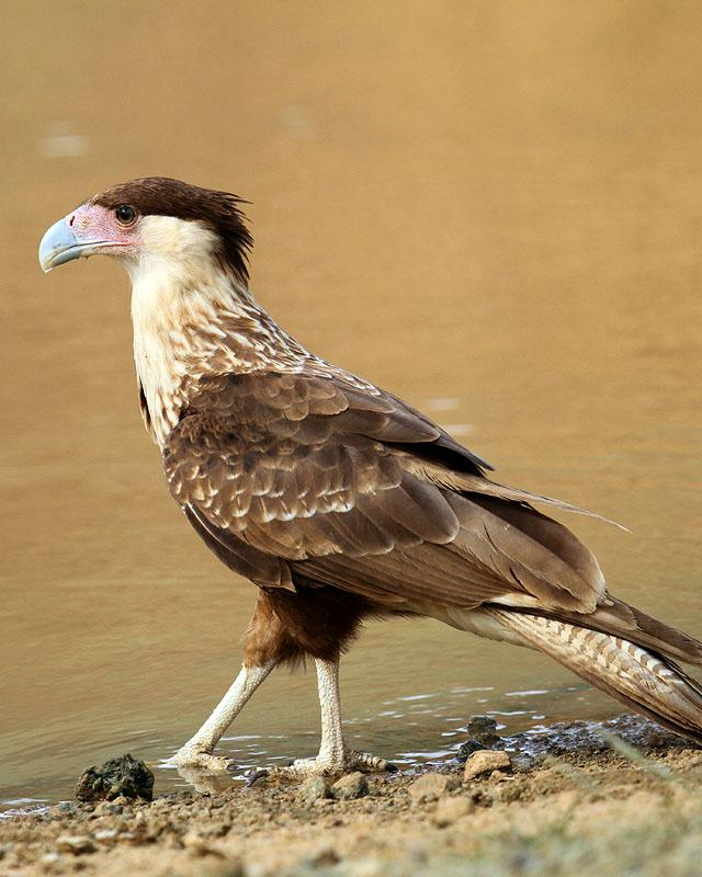 Crested Caracara Photo by Cathy Sheeter