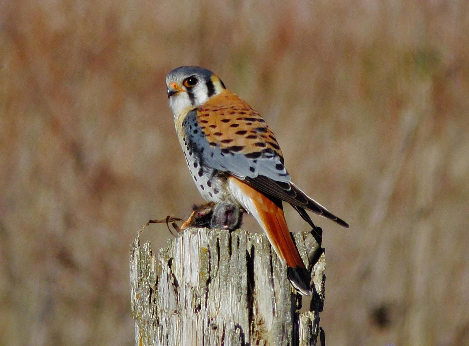 American Kestrel Photo by Kent Jensen