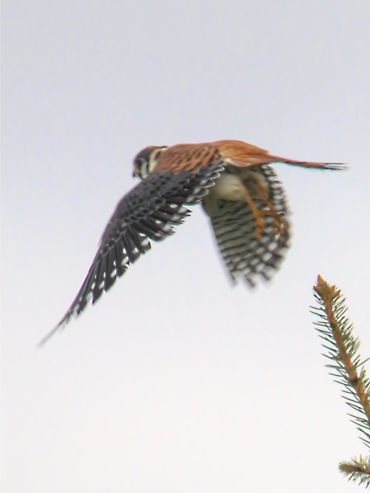 American Kestrel Photo by Dan Tallman
