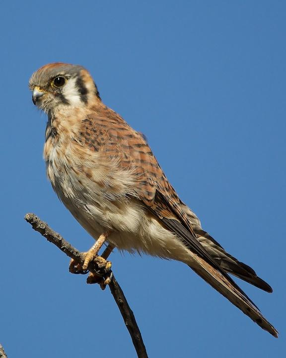 American Kestrel Photo by Denis Rivard