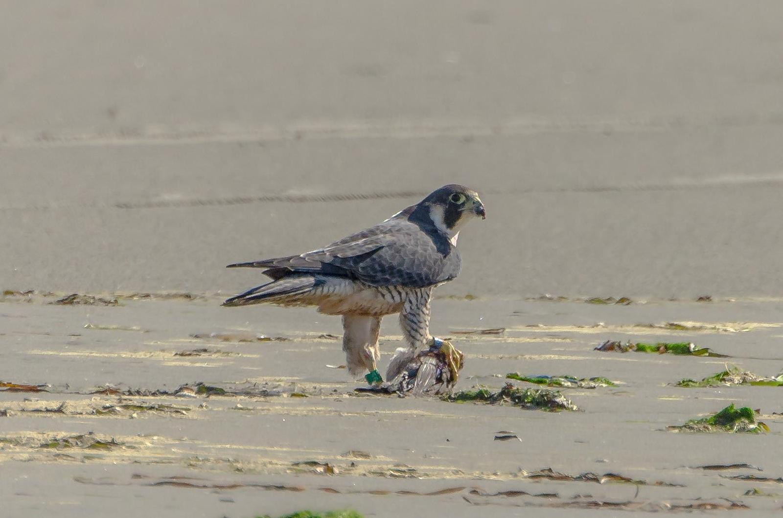 Peregrine Falcon (Peale's) Photo by Scott Yerges