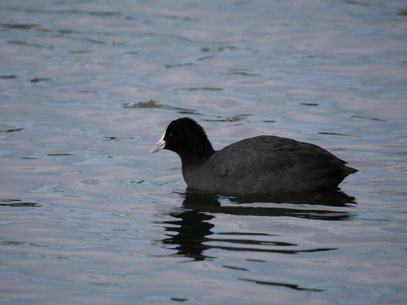 Eurasian Coot Photo by Peter Lowe