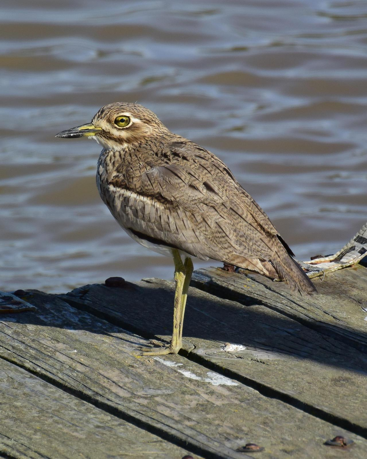 Water Thick-knee Photo by Steve Percival