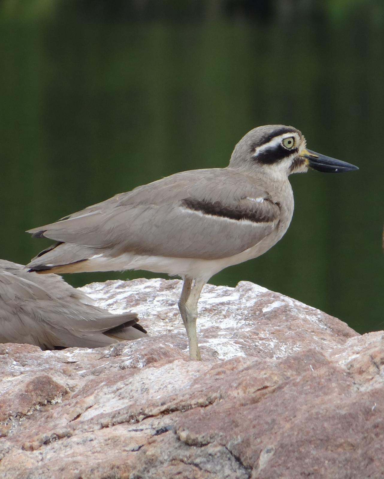 Great Thick-knee Photo by Todd A. Watkins
