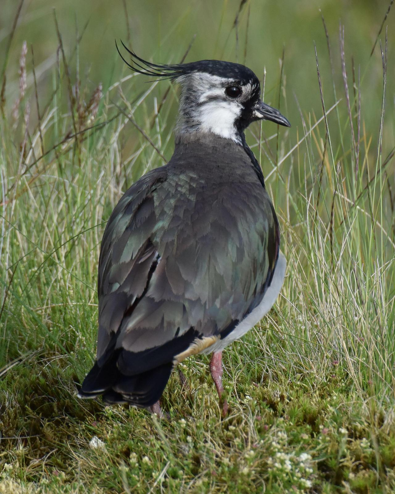 Northern Lapwing Photo by Steve Percival