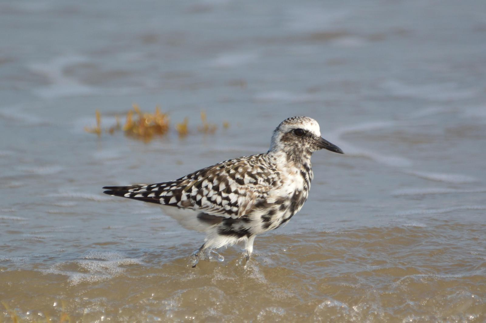Black-bellied Plover Photo by Jeannette Piecznski
