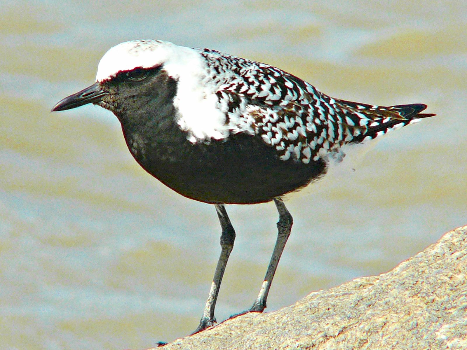 Black-bellied Plover Photo by Bob Neugebauer