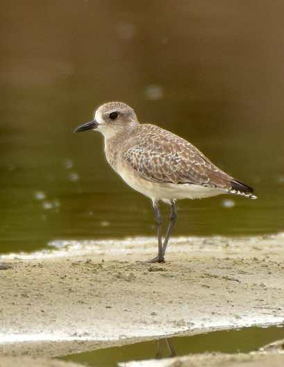 Black-bellied Plover Photo by Andrew Pittman