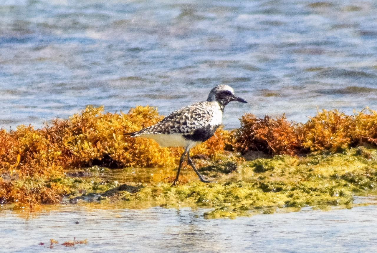 Black-bellied Plover Photo by Laura A. Martínez Cantú