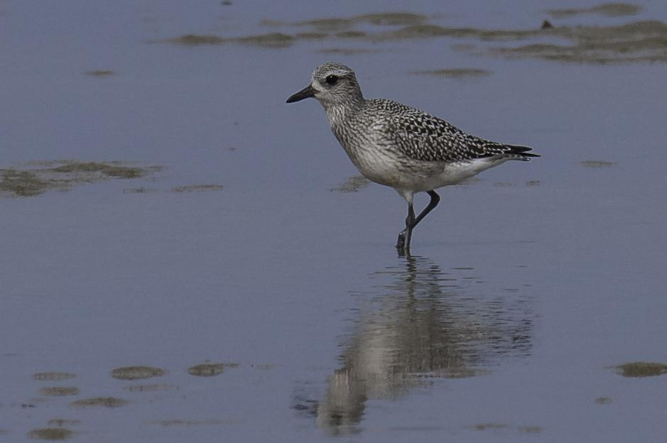 Black-bellied Plover Photo by Mason Rose