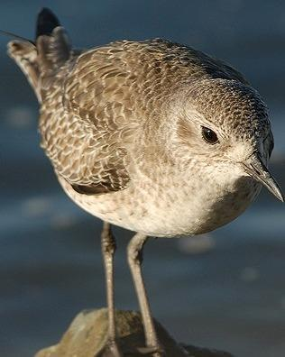 Black-bellied Plover Photo by Pete Myers