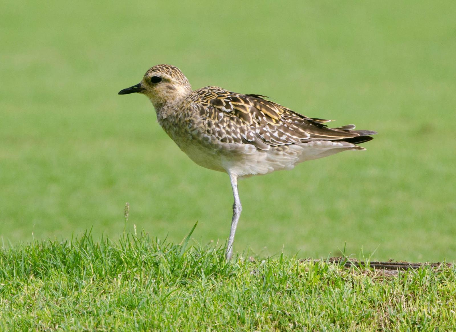 Pacific Golden-Plover Photo by Scott Yerges