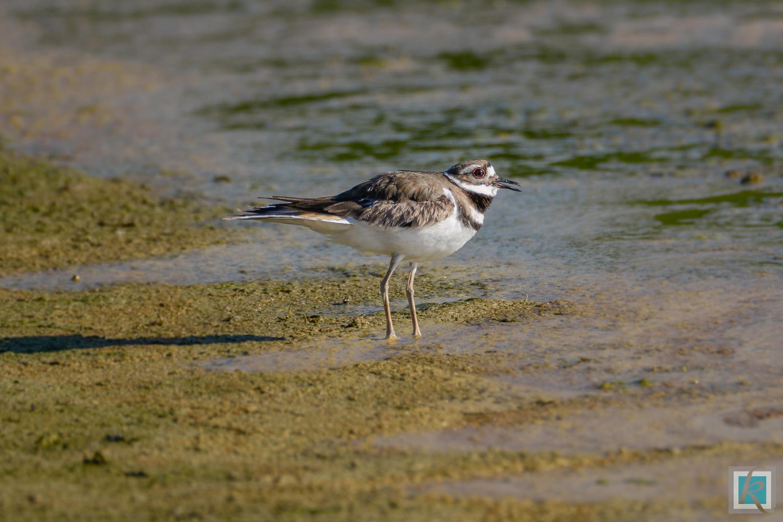 Killdeer Photo by Tyson Kahler