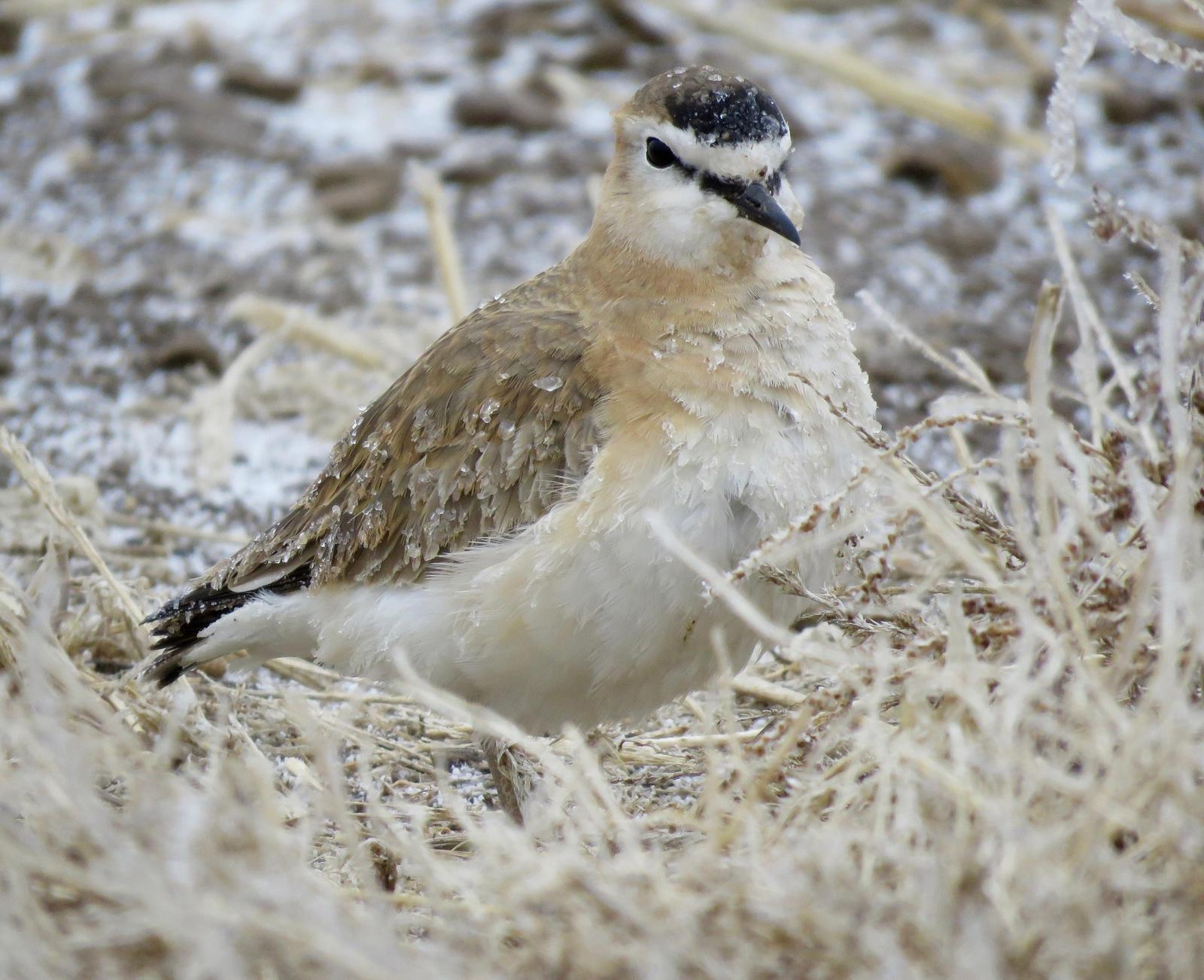 Mountain Plover Photo by Don Glasco
