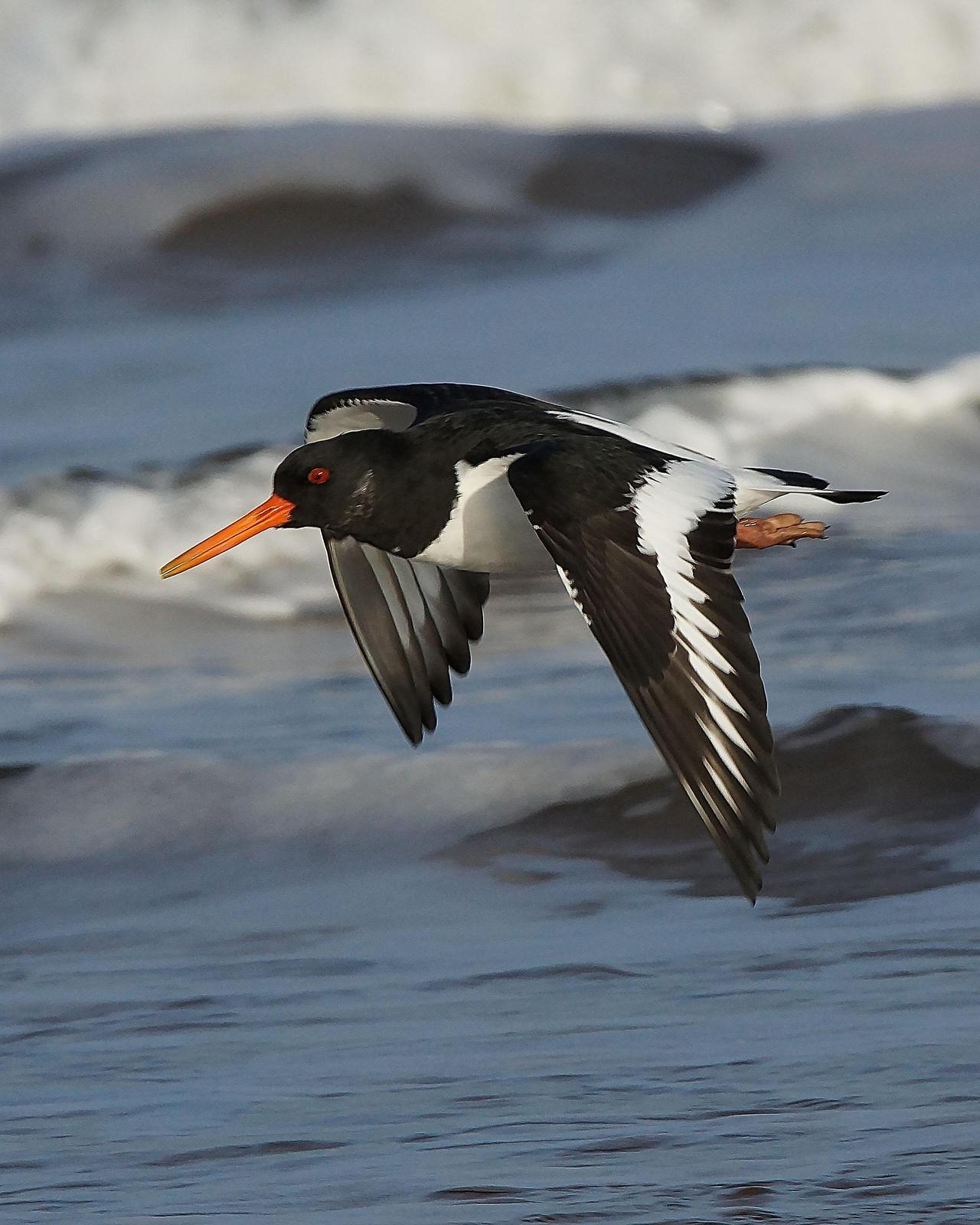 Eurasian Oystercatcher Photo by Steve Percival