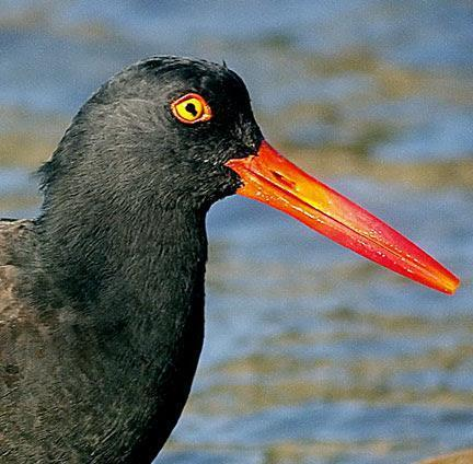 Black Oystercatcher Photo by Dan Tallman