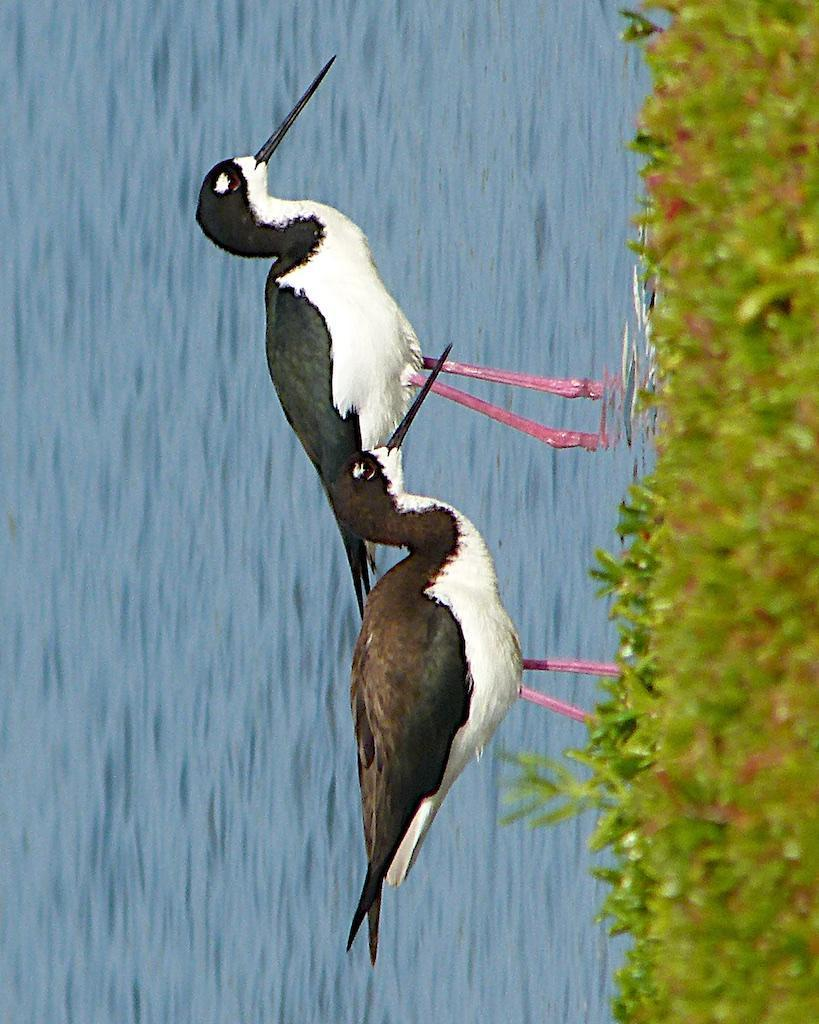 Black-necked Stilt (Hawaiian) Photo by Brian Avent