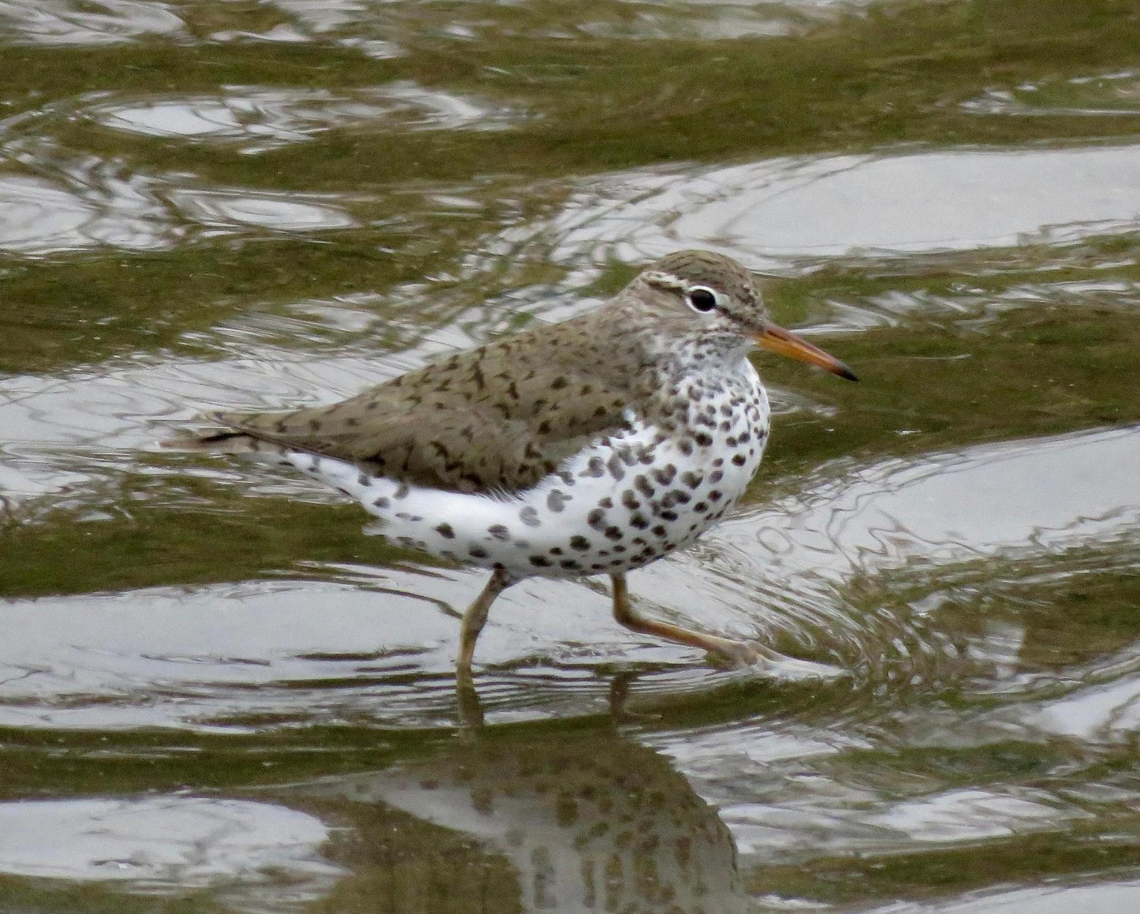 Spotted Sandpiper Photo by Don Glasco