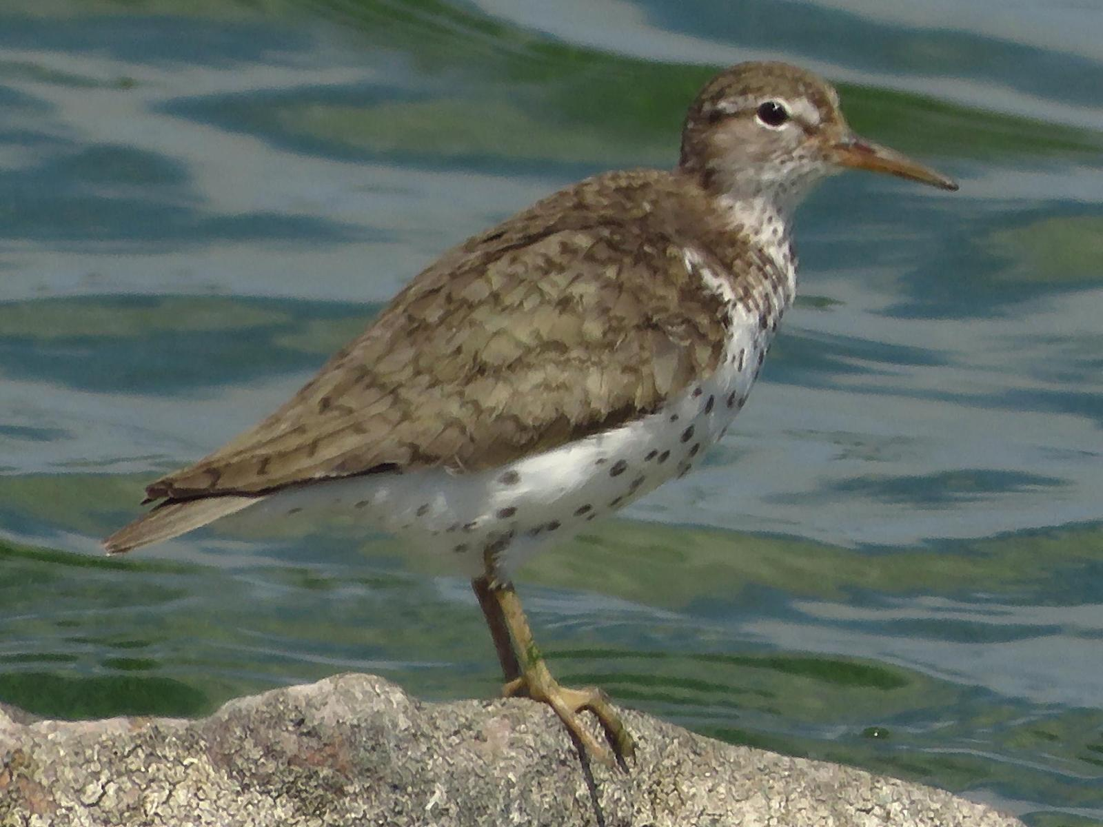 Spotted Sandpiper Photo by Bob Neugebauer